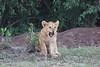Lion_Family_Morning_Mara_Asilia_Kenya0004
