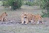 Lion_Family_Morning_Mara_Asilia_Kenya0014