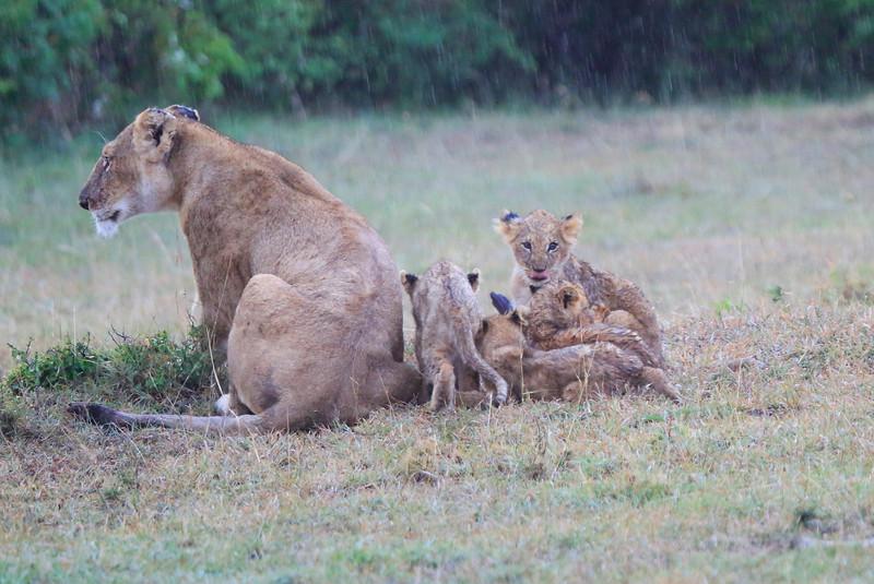 Lion_Afternoon_Rain_Mara_Asilia_Kenya0002