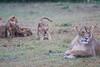 Lion_Afternoon_Rain_Mara_Asilia_Kenya0006