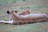 Lion_Afternoon_Rain_Mara_Asilia_Kenya0016