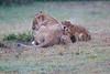 Lion_Afternoon_Rain_Mara_Asilia_Kenya0009