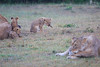 Lion_Afternoon_Rain_Mara_Asilia_Kenya0011