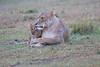 Lion_Afternoon_Rain_Mara_Asilia_Kenya0008