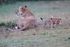 Lion_Afternoon_Rain_Mara_Asilia_Kenya0019