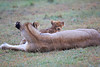 Lion_Afternoon_Rain_Mara_Asilia_Kenya0017