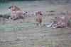 Lion_Afternoon_Rain_Mara_Asilia_Kenya0015