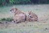 Lion_Afternoon_Rain_Mara_Asilia_Kenya0004