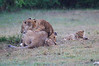 Lion_Afternoon_Rain_Mara_Asilia_Kenya0013
