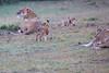 Lion_Afternoon_Rain_Mara_Asilia_Kenya0014