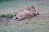 Lion_Afternoon_Rain_Mara_Asilia_Kenya0020