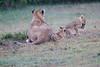 Lion_Afternoon_Rain_Mara_Asilia_Kenya0018