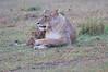 Lion_Afternoon_Rain_Mara_Asilia_Kenya0007
