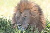 Lion Male Mara