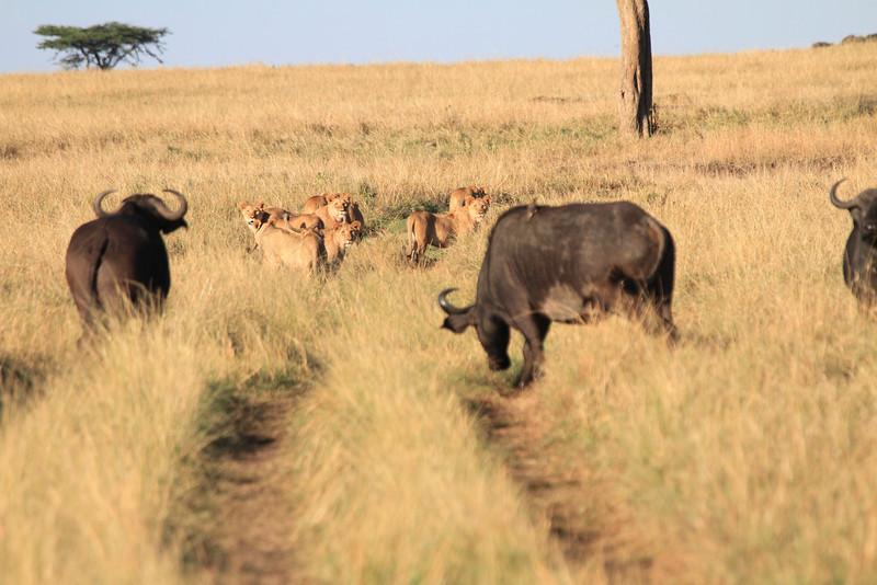 Lion Pride Mara Buffalo