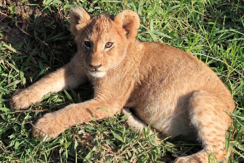 Lion Family Mara