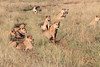 Lion Pride Mara