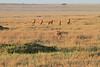 Lion Male Mara Topi