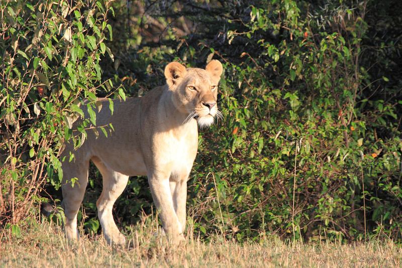 Lion Mara
