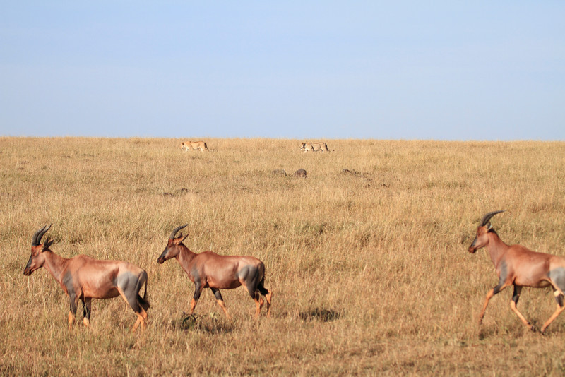 Topi and Lion Pride Mara