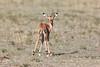 Baby Impala Mara
