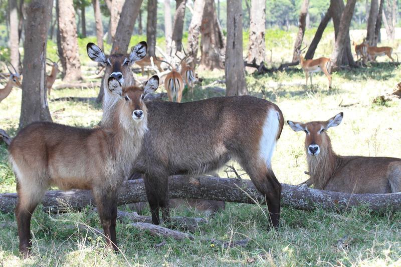 Water Buck Family Mara