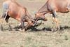 Jousting Topi Mara