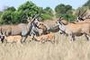 Eland Mara