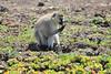 Vervet Monkey Male Mara