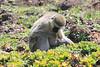Vervet Monkey With Child0397