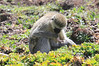 Vervet Monkey Mother Child Mara