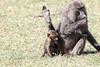 Baboon Baby Male Mara