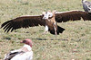 Ruppell's Griffon Vulture Flying Mara