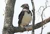 Immature Martial Eagle Mara