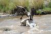 Vultures Kill Mara