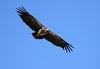 Lappet Faced Vulture Flying Mara