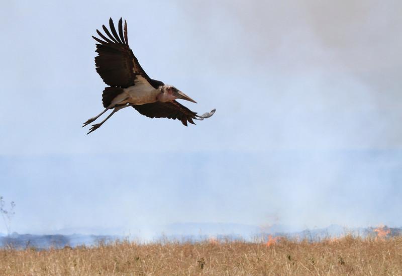 Marabou Stork Flying Fire Mara