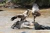 Dueling Vultures Kill Mara