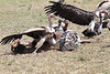 Dueling Ruppell's Griffon Vultures Mara