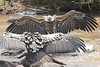 Dueling Vultures Mara