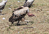 Ruppell's Griffon Vulture Mara