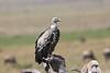 Ruppell-s Griffon Vulture Mara