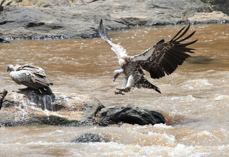 Vultures at Kill Mara
