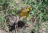 Yellow-throated Longclaw Mara