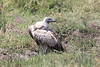 African White-backed Vulture Mara