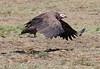 Lappet-faced Vulture Flying Mara