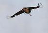 Marabou Stork Flying Mara