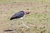 Marabu Stork0840