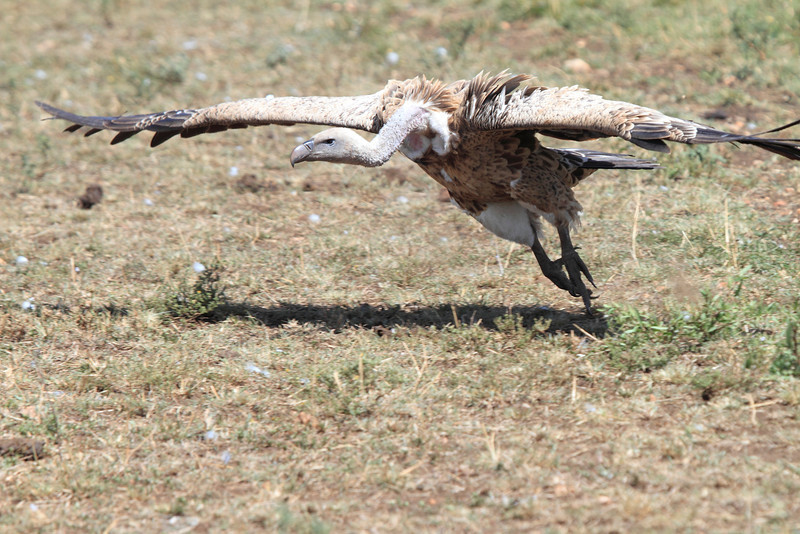 African White-backed Vulture Flying Mara