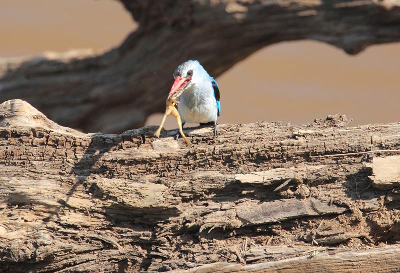 Woodland Kingfisher Frog Mara